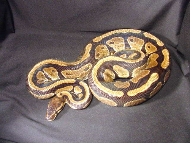 Ball Python Facts And Pictures Reptile Fact