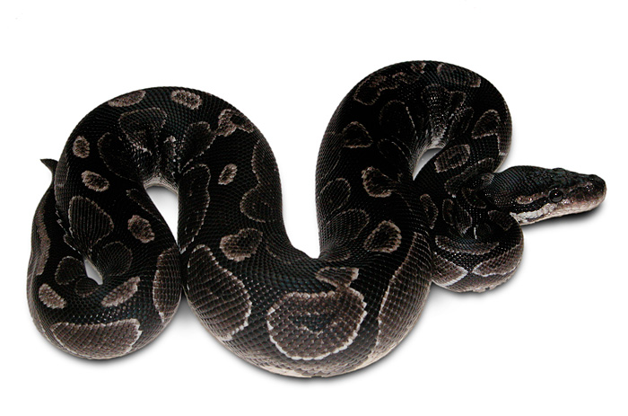 Ball Python Facts and ...