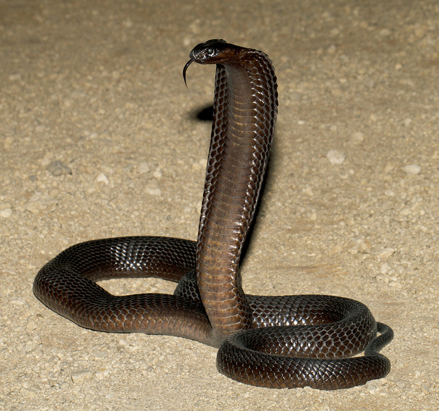 Cape Cobra Facts and Pictures | Reptile Fact