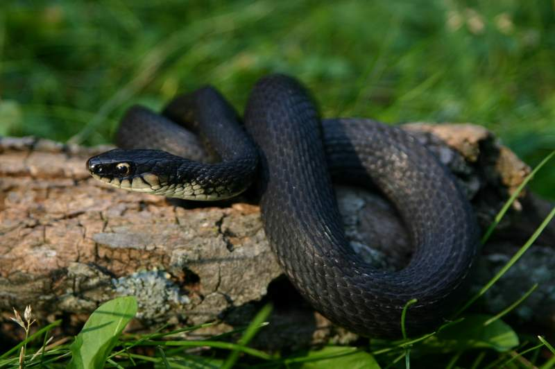 Image result for black rat snake