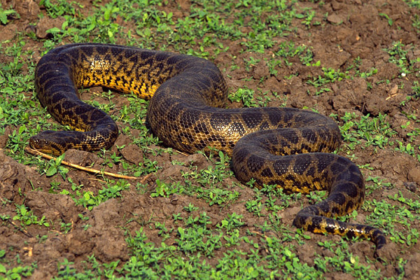 Bolivian anaconda - photo#6