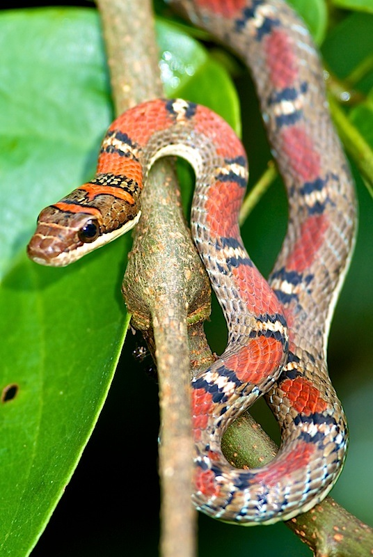 Banded Flying Snake Facts And Pictures