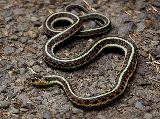 Common Garter Snake Facts And Pictures Reptile Fact