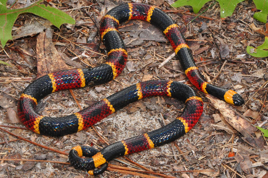 Eastern Coral Snake Facts and Pictures | Reptile Fact