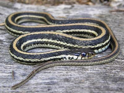Texas Garter Snake Facts And Pictures Reptile Fact