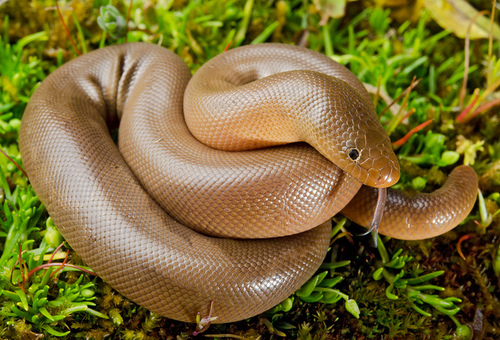 Rubber Boa Facts And Pictures Reptile Fact