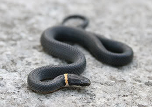 Dark Snake With Yellow Ring Around Neck