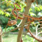 Blunt Headed Tree Snake