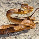 Brown Tree Snake Photos