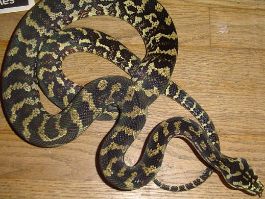 Jungle Carpet Python Facts and Pictures  Reptile Fact