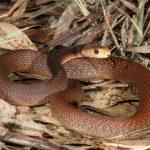 Coastal Taipan Snake