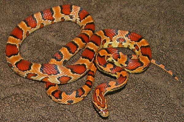 Charcoal Corn Snake
