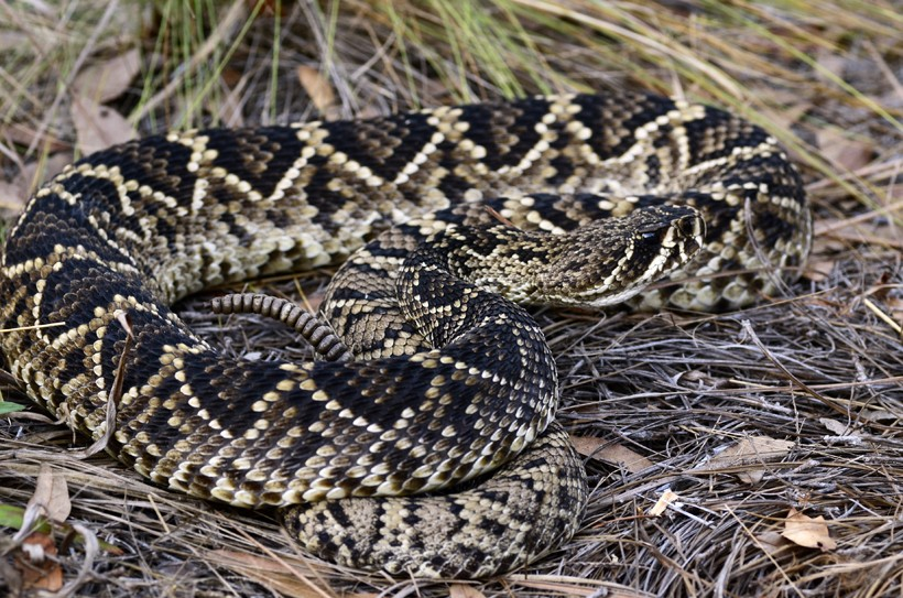 Eastern Diamondback Rattlesnake Facts And Pictures