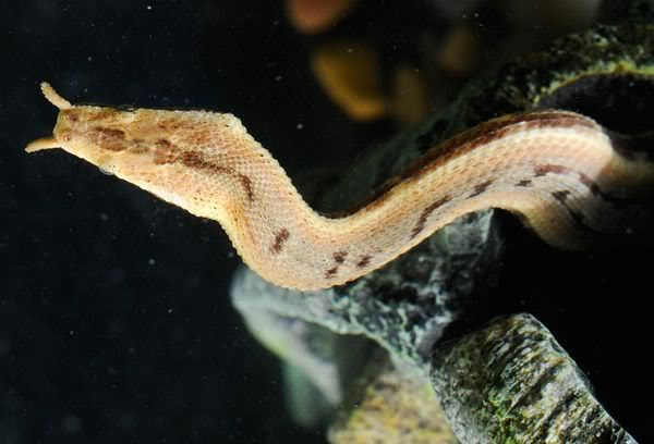 Tentacled Snake Facts And Pictures Reptile Fact
