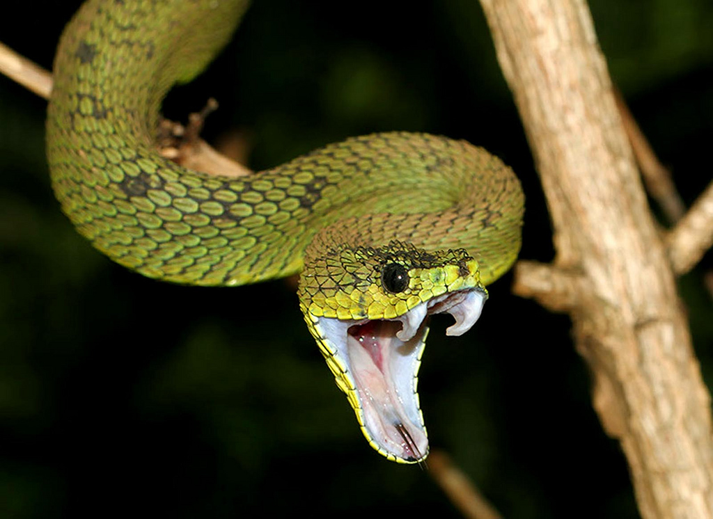 great lakes bush viper facts and pictures reptile fact