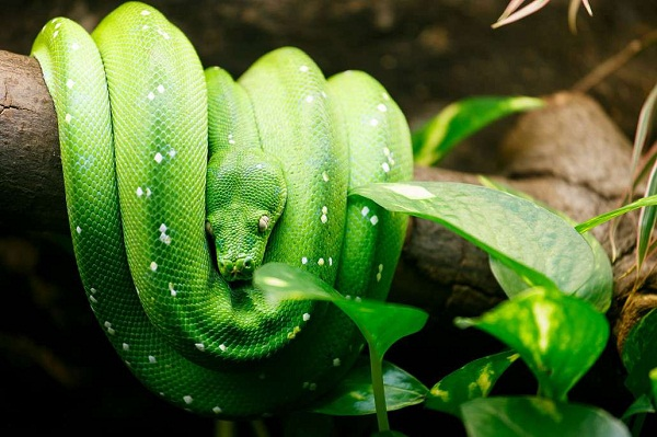 Green Tree Python Facts and Pictures | Reptile Fact