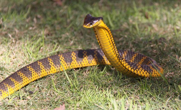 Tiger Snake Facts And Pictures Reptile Fact