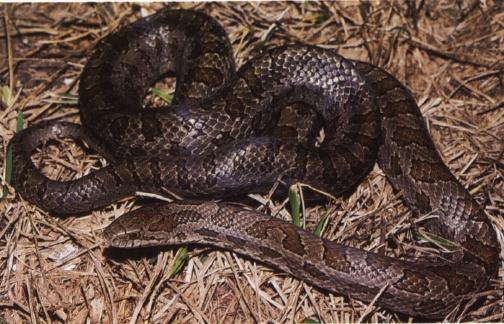 N H Reptiles Prairie Kingsnake Fact...