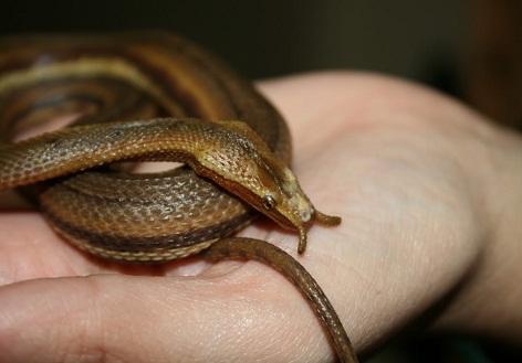 Tentacled-Snake.jpg