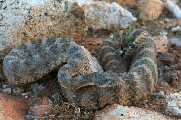 Tiger Rattlesnake Facts and Pictures | Reptile Fact - photo#15