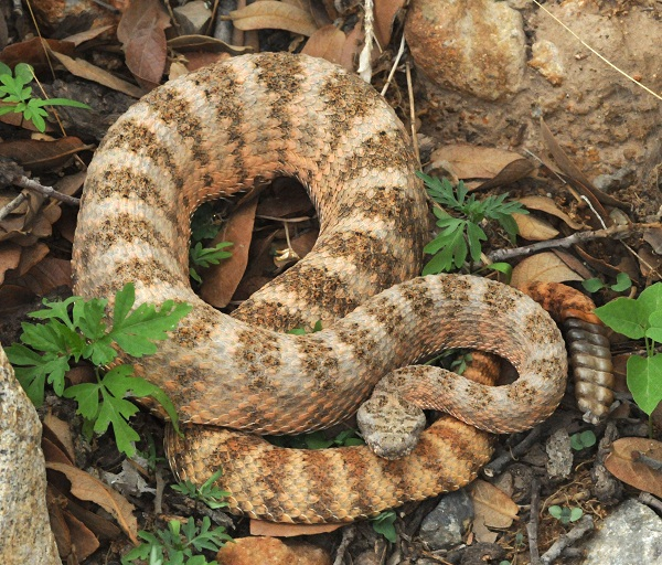 Tiger Rattlesnake Facts and Pictures | Reptile Fact - photo#6