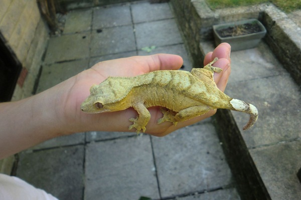 Crested Gecko Facts an...
