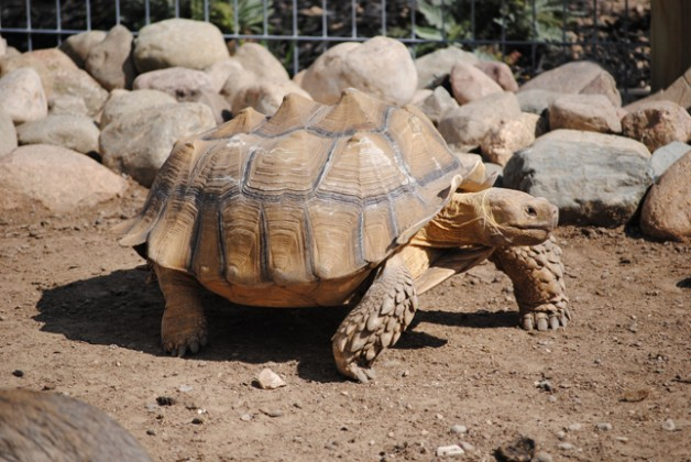 African spurred tortoise - photo#11