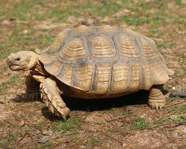 African spurred tortoise - photo#7