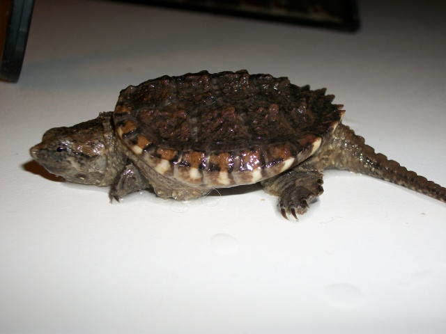 Alligator Snapping Turtle Facts and Pictures | Reptile Fact