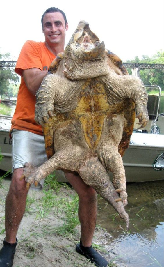 Alligator Snapping Turtle Facts and Pictures | Reptile Fact  Alligator Snapp...