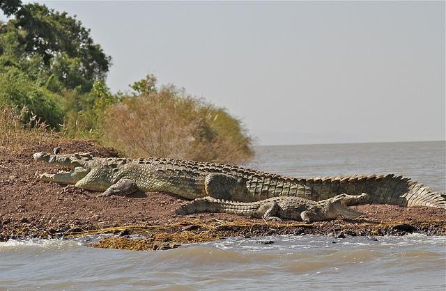Nile Crocodile Nile Crocodile Facts a...