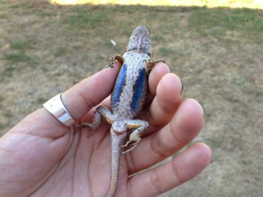 Baby Eastern Fence Lizard