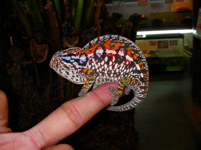 Carpet Chameleon Facts And Pictures Reptile Fact