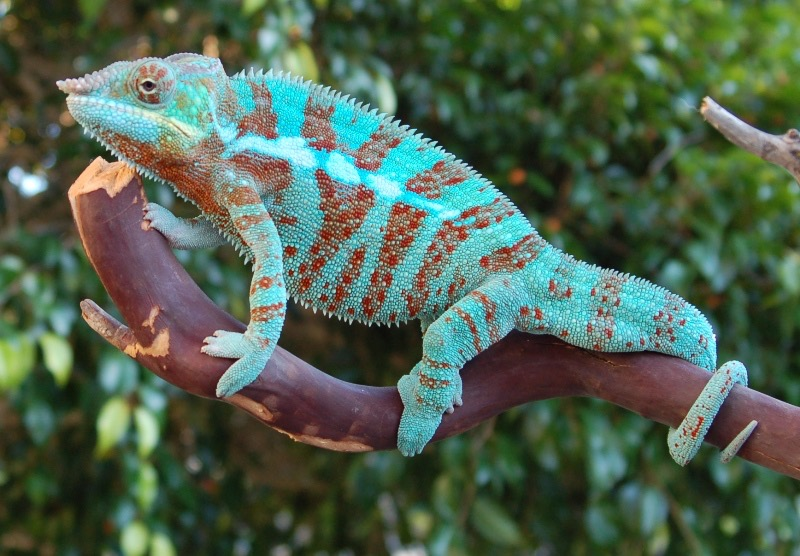 Panther Chameleon Facts And Pictures Reptile Fact