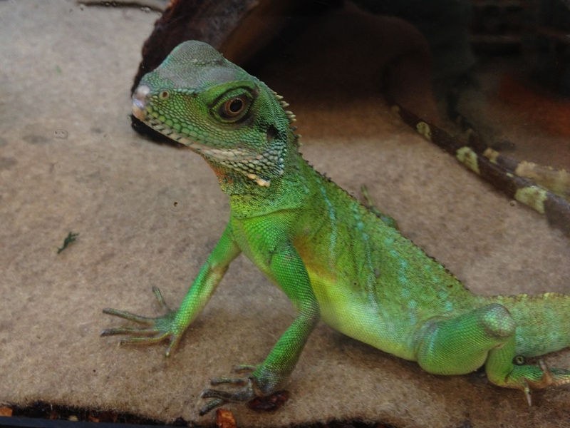 Chinese water dragon facts and pictures reptile fact for Water lizard fish
