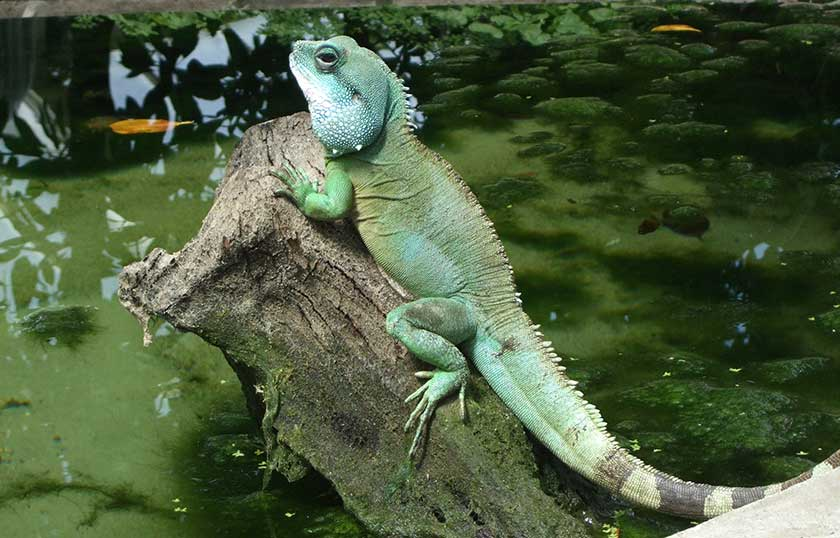 Chinese Water Dragon Facts and Pictures | Reptile Fact