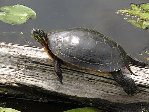 Painted Turtle Facts And Pictures Reptile Fact