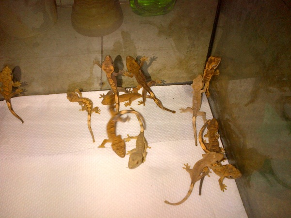 how to take care of crested gecko eggs