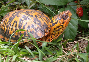 Eastern Box Turtle Facts And Pictures Reptile Fact