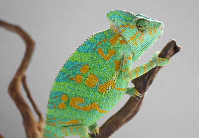 veiled chameleon care sheet pdf