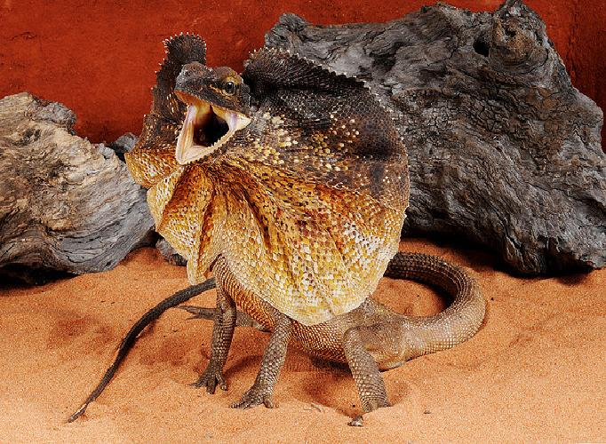 Frilled Lizard Facts and Pictures | Reptile Fact