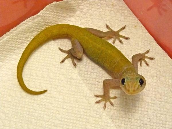 gecko essay