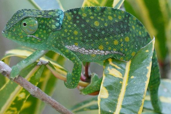Graceful Chameleon Facts And Pictures Reptile Fact