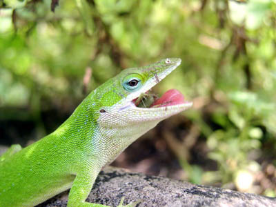 Green anole eating crickets
