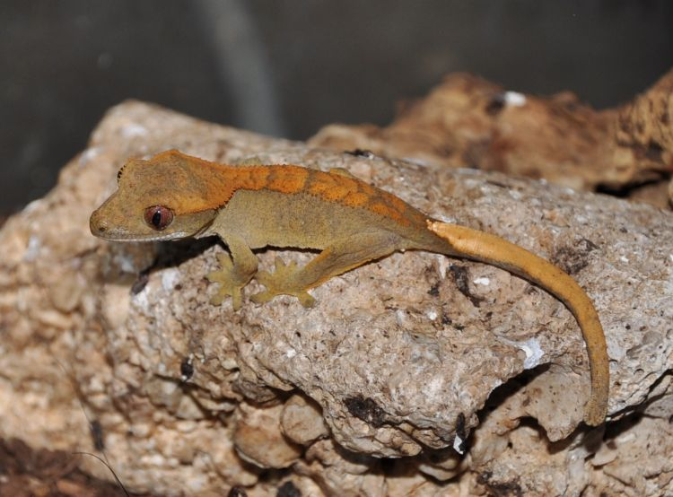 giant crested gecko - photo #17