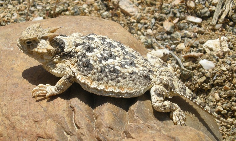 Desert Horned Lizard Facts and Pictures | Reptile Fact