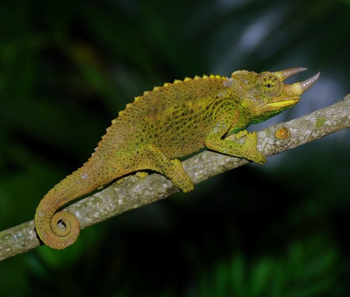 Jackson Chameleon Facts And Pictures