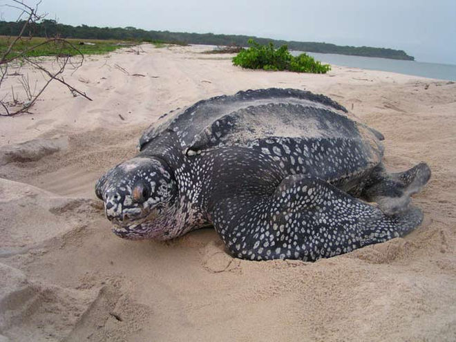WATCH: Giant leatherback turtle in Camarines Sur released ...