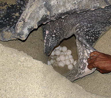 Leatherback Sea Turtle Facts And Pictures Reptile Fact