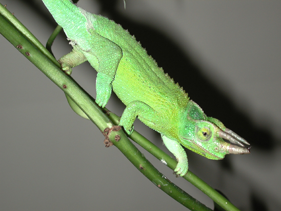 Jackson Chameleon Facts And Pictures Reptile Fact